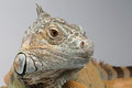 Closeup Green Iguana on White Background Royalty Free Stock Photo
