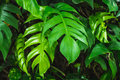 Closeup green leaf, rain forest tropical plant Royalty Free Stock Photo