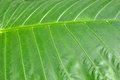 Closeup Of A Green Leaf Royalty Free Stock Photo
