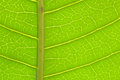 Closeup Of Green Mango Leaf De...