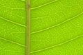 Closeup Of Green Mango Leaf De...