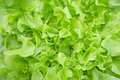 Closeup Green oak leaf lettuce Royalty Free Stock Photo