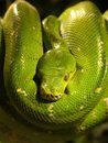 Closeup of green tree python a found in new guinea islands in indonesia and cape york peninsula in australia Stock Image