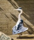 Closeup of a grey heron standing in funny position with its wings, common bird specie from Eurasia Royalty Free Stock Photo