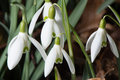 A closeup of a group of Spring Snowdrops Royalty Free Stock Photo