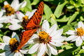 Closeup of a gulf fritillary butterfly in a sea of white flowers beautiful or passion agraulis vanillae feeding on nectar large Royalty Free Stock Photography