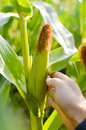 Closeup on hand in corn cultivated agricultural field background outdoors Royalty Free Stock Photo