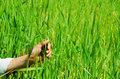 Closeup of hand grabbing tall grass plants, beautiful green colored grassy background Royalty Free Stock Photo