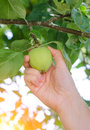 Closeup on a hand picking a green apple from the tree Stock Photography