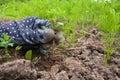 Closeup of hand weeding in the vegetable garden
