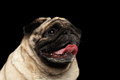 Closeup happy pug dog curious looking up black background portrait of in front of the Stock Photo