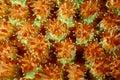 Closeup Hard Coral Polyps Royalty Free Stock Photo