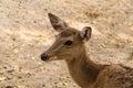 Closeup head shot of deer doe Royalty Free Stock Photo