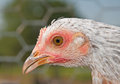 Closeup of a head of a young hen Royalty Free Stock Photos