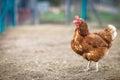 Closeup of a hen in a farmyard