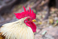 Closeup of a hen in a farmyard thailand Stock Photography