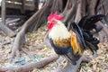 Closeup of a hen in a farmyard thailand Royalty Free Stock Image