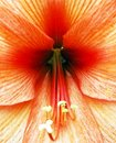 Closeup of Hibiscus flower Royalty Free Stock Photography