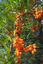 Closeup of Hippophae Stock Photo
