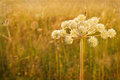 Closeup of hogweed with painterly textured editing Royalty Free Stock Photo
