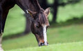 Closeup of a horse s head grazing in a meadow at aru vallry jammu and kashmir india Royalty Free Stock Photography