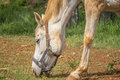 Closeup horse yellow horse eats the rural ranch Royalty Free Stock Photography