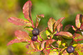 Closeup of Huckleberries on a Bush Stock Photography