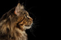 Closeup Huge Maine Coon Cat Profile Looks, Isolated Black Background Royalty Free Stock Photo