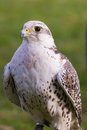 Closeup of a hunting falcon Royalty Free Stock Photo