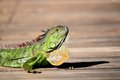 Closeup of iguana Royalty Free Stock Photos