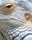Closeup of Iguana eye and skin Royalty Free Stock Photo