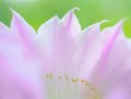 Closeup Image of Beautiful Pink Cactus Flower on Green Background Royalty Free Stock Photo