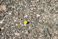 Closeup image of dandelion growing up from the gravel