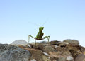 Closeup image of green praying mantis mantis religiosa is sitt sitting on the rock over sky background looking in camera Stock Photo