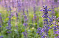 Closeup image of violet lavender flowers in the field Royalty Free Stock Photo