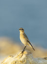 Closeup of isabelline wheatear is a migratory insectivorous bird Royalty Free Stock Images