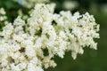 Japanese tree lilac flowers Royalty Free Stock Photo