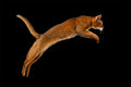 Photo : Closeup Jumping Abyssinian cat on black background in Profile kotiya smile golden