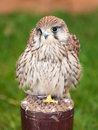 Closeup of a kestrel Stock Image