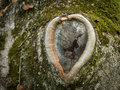 Knothole of an old tree in the shape of a heart Royalty Free Stock Photo