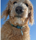 Closeup of Labradoodle puppy Royalty Free Stock Images
