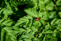Closeup of ladybird on cow parsley Royalty Free Stock Photo