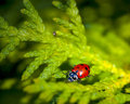 Closeup of a Ladybug in a tree Stock Photography