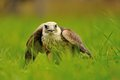 Closeup lanner falcon standing on the green grass ground Royalty Free Stock Photography