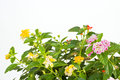 Closeup of lantana camara also called spanish flag wild sage or west indian on white background Stock Photo