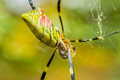 Closeup of a large yellow and black garden spider Royalty Free Stock Photo