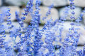 Closeup of lavender Royalty Free Stock Photo