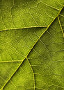 Closeup leaf Royalty Free Stock Photo