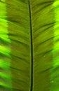 Closeup Leaf of Giant Alocasia or Giant Taro or Elephant Ear Taro