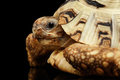 Closeup Leopard tortoise albino,Stigmochelys pardalis,white shell, Isolated Black Background Royalty Free Stock Photo